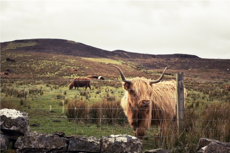 ... and the famous highland 'coos'